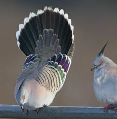 """The Crested Pigeon """"Ocyphap lophotes"""" is found widely throughout mainland Australia except for the far northern tropical areas. It is the only member of the genus Ocyphaps Small Birds, Colorful Birds, Love Birds, Beautiful Birds, Pet Birds, Beautiful Things, Crested Pigeon, Australian Parrots, Pigeon Breeds"""