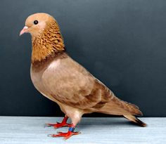 Arabian Trumpeter Pigeon. This particular breed of pigeon are bred for their distinctive sounds they emit.
