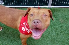 CLOVER - A1119174 - - Manhattan  TO BE DESTROYED 07/25/17 **ON PUBLIC LIST** A volunteer writes: Clover is a free dating app available via Apple, but who needs apps when you can meet Clover in person and go on your first date right away? She's a gorgeous red head, sleek and well groomed, and has all the perfect qualities for a lifelong partner. Quiet, calm, and patient in her kennel waiting her turn for a walk, she seems housetrained, is good on the leash, and waits f