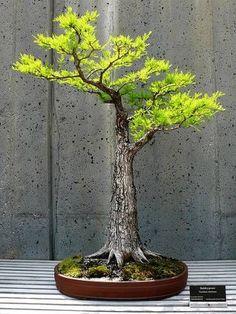 Uma árvore de pau-brasil bonsai madrugada PODEROSO! Veja mais árvores bonsai ...