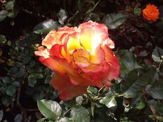 #flowers #rose #nofilter #orange #pink #yellow #nature #beautiful