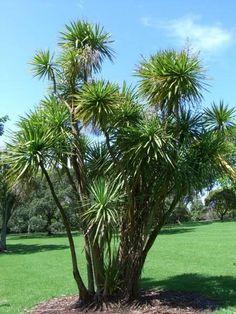 25 GIANT DRACAENA SPIKES Cornish Palm Cordyline Australis Flower Seeds *Comb S/H