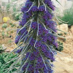 Natternkopf - Echium pininana - Samen