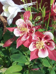 Columbine. Perennial, partial/full sun.