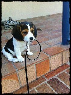OMG  (♥♥)  #Beagle #puppy #cute #lovely #littledog