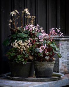 Autumnal small pots. #saxifraga #potgarden #garden #flowers #autumn #gartneripedersen #bgreen_dk #plants #inspiration #instagram #krullskrukker Garden Of Eden, Garden Pots, Beach Gardens, Planters, Gardening, Autumnal, Rose, Spring, Green