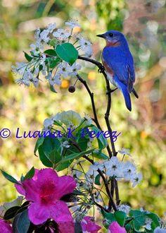 Billy Bluebird Enjoying Springtime by EyesOfLuana on Etsy