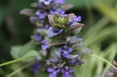 Ajuga Repens.  Hard to spell but oh so pretty.  December 2012. Katherine Cooper.