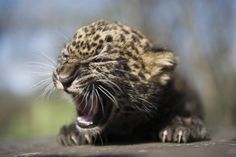 """Sleepy cub - 4-week-old leopard cub, Imoo, yawns at Nyiregyhaza Animal Park in Budapest, Hungary, on April 5. The cub's name means ""darkness"" in the Swahili language. Imoo's parents have lived at the zoo since 2007."" ~MSN    How I feel every morning -_-  ""I don't wanna go to skewl!"""