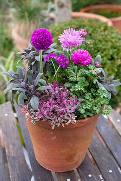 Pot of the month: March. Contains Primula denticulata, Salvia officinalis 'Purpurascens', Hebe 'Heartbreaker' and Anemone coronaria 'St Brigid'. Photo by Sarah Cuttle. To see how Anemone are best grown, visit http://www.gardenersworld.com/plants/anemone-coronaria-de-caen-group/3148.html