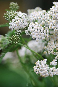 (NL: Duizendblad) Yarrow/Achillea millefolium - Achillée millefeuille Mille is French for thousand and folium means leave. Achillea comes from Achilles, in whose armies this plant was used to treat battle wounds. Flowers Perennials, Planting Flowers, White Flowers, Beautiful Flowers, Achillea Millefolium, Herbaceous Border, Moon Garden, Growing Seeds, Edible Plants