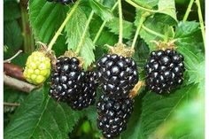 How to Grow Blackberries in Pots | eHow