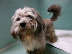 LIL LOUIE Yorkshire Terrier Yorkie & Shih Tzu Mix • Young • Male • Small Four Paws Sake NYC Middle Village, NY 3 years old  playful, obedient and housebroken :)  neutered and up to date on shots :)