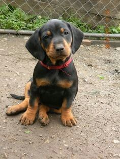 Slovakian Slovak Hound or Black Forest Hound Cooper's future sibling Farm Animals, Funny Animals, Cute Animals, Purebred Dogs, Dobermans, Im Falling In Love, Dog List, Hound Dog, All Dogs