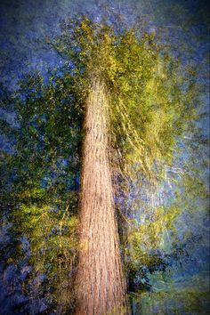 Artistic photograph looking up at a tall tree taken in multiple exposures. The Ent by Ursula Abresch is part of the Fine Art Tree Photography collection on Canvas On Demand. Find more fine art photography canvases on Canvas On Demand. Tree Photography, Fine Art Photography, Coloring Canvas, Collections Photography, Blur Photo, Multiple Exposure, Photo Tree, Beautiful Mind, Ursula