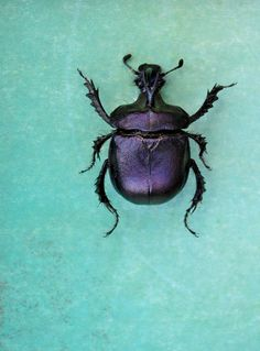 Purple scarab on turquoise background.