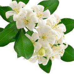 Jasmine Essential Oil - Uses and Benefits for your skin. Jasmine Essential Oil, Natural Essential Oils, Beauty Spa, Diy Beauty, Homemade Beauty, Smelling Flowers, Esential Oils, Aromatherapy, Lotions