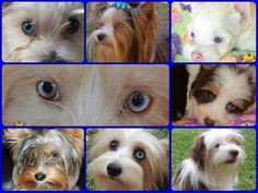 Blue Diamond Yorkshire Terriers - KARMIC YORKIES - Gezina, Pretoria