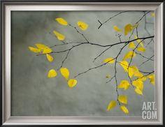 Yellow Autumnal Birch (Betula) Tree Limbs Against Gray Stucco Wall Framed Photographic Print by Images Monsoon at Art.com
