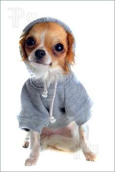 chihuahua dressed #dogs #animal #chihuahua