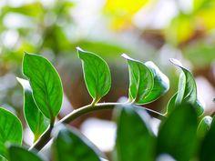 Замиокулькас замиелистный - Zamioculcas zamiifolia, замиокулькас фото