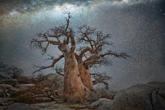 These stunning photos of ancient trees set against all-natural long-exposure backdrops of the Milky Way was inspired by two fascinating scientific studies that connect tree growth with celestial movement and astral cycles Starry Night Sky, Night Skies, Cosmos, Art Science Museum, African Tree, Chobe National Park, Baobab Tree, Camera World, Colossal Art