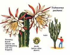 San Pedro (Trichocereus pachanoi) - Hallucinogenic Plants A Golden-Guide 112a by Howard G Charing, via Flickr