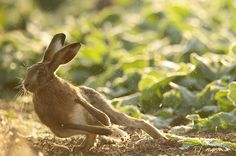 Brown Hare leaping to the side Lepus europaeus
