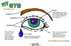 This poster illustrates and defines the different components of the outside of the eye. Locations and definitions are provided for the eyebrow, eyelid, iris, tears, and pupil. 17 in. x 11 in. poster Find over 330 learning activities at the Health EDventure