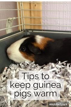 Tips to keep guinea pigs warm in winter