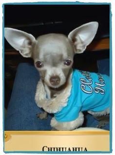 Blue Chihuahua