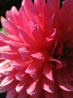 Hot pink Dahlia planted for a residential client.  Loved these in every stage of growth!