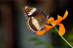 brown butterfly by Rachmad Aryw on 500px