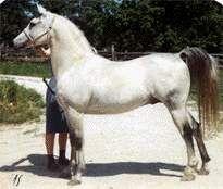 Faaris (Maaroufa x Fa Serr) grey SE stallion