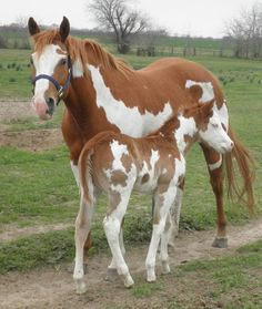 Sheza Awesome Barlink 04 APHA/AQHA mare by Mighty Direct Reserve World Champion Pinto, superior Halter APHA by Mighty Awesome. Dam own daughter Barlink Zipcode APHA world champion. Other pictures are the produce of this great mare. This mare has pretty go Baby Horses, Cute Horses, Pretty Horses, Horse Love, American Paint Horse, Most Beautiful Horses, Animals Beautiful, Best Horse Names, Barrel Racing Horses
