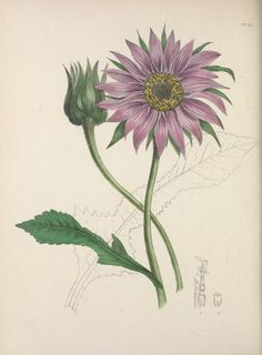 v.3 (1840) - The floral cabinet and magazine of exotic botany / - Smithsonian Libraries via BHL