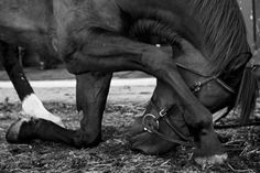 Horse photography by Ditte Isager All The Pretty Horses, Beautiful Horses, Zebras, Majestic Horse, Equine Photography, Animal Photography, Food Photography, Horse Love, Equestrian Style