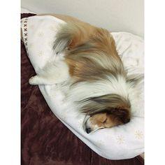 #シェルティ#ワンコ#ベッド#邪魔#ど真ん中#ベッド取られて眠れない  ど真ん中で寝られたら、私、眠れないんですけど(´Д` )