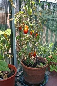 Indeterminate, vining tomato growing in large 20-inch clay pot