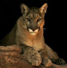 Cougar (Photo: Wayne Dumbleton, CCL)