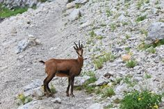 chamois (Rupicapra Carpatica) ...  Chamois, alpine, animal, beautiful, brown, extreme, goat, high, horn, mammal, mountain, natural, nature, outdoor, peak, rock, scenery, scenic, sport, stone, summer, top, tourism, travel, view, wild, wildlife