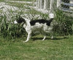 Atticus is an adoptable English Springer Spaniel Dog in Genoa City, WI. I am fostered in Harvard, IL � Licensed by the state of Wisconsin #266969-DS- 501(c)3 Approved Rescue. � Last inspection 8/2013-...