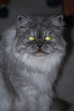 Types of Persian Cats. This one looks like my Claus!