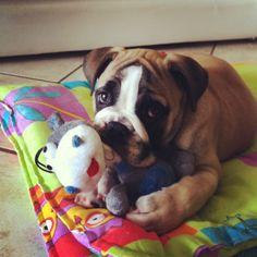 English bulldog, Churchill