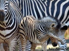 A zebra foal stands in an enclosure at the zoo in Schwerin, northern Germany. The baby zebra was born at the zoo on June Zebra Pictures, Animal Pictures, Baby Animals, Funny Animals, Cute Animals, Wild Animals, Beautiful Creatures, Animals Beautiful, Animal Tracks