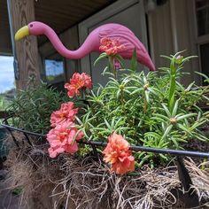 #flamingos #sunshine #suzyswede