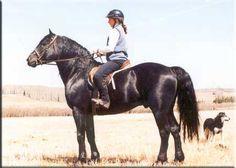 "Canadian Horse stallion ""Cactus"""