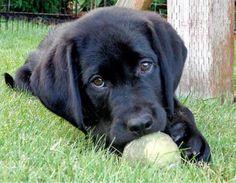 Labrador Retriever, Looks just like my Gracie girl when she was a puppy 4 years ago!!! A D O R A B L E!!