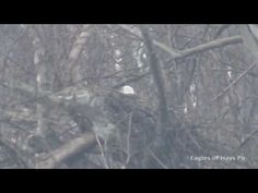 Pittsburgh Hays bald eagles at NEW 2017 NEST - YouTube The following video was captured by Dana Nesiti on 2/20/17 at the new Pittsburgh Hays bald eagle nest. This video clip was taken a day after the female lai...