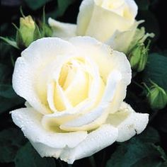 Silver Anniversary - David Austin Roses